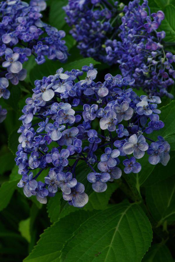 梅花咲紫陽花の作例写真
