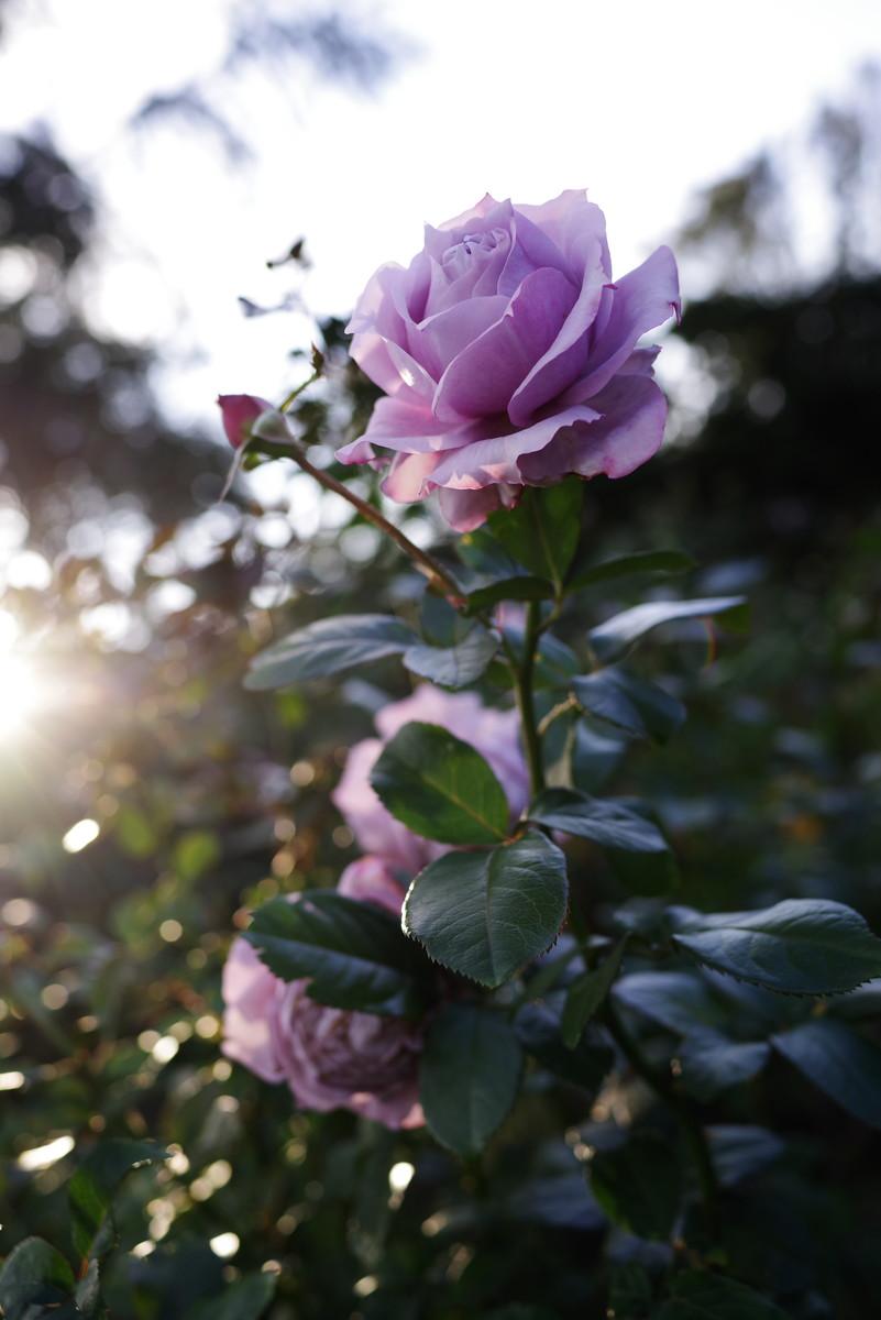 逆光で盛れる薔薇の作例写真