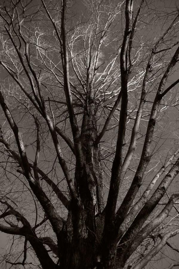 冬空に聳えるメタセコイアの木の作例写真