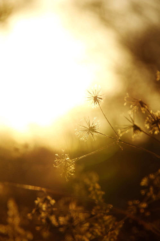 金色の線香花火(コセンダングサ)の作例写真