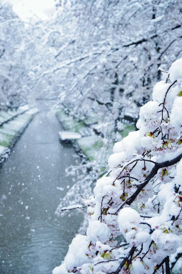 雪桜満開の作例写真