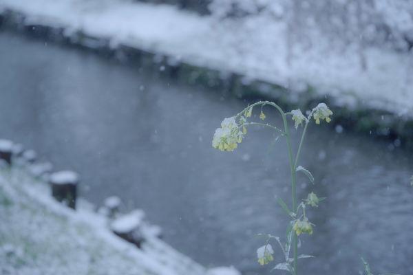 花散らしの雪の作例写真