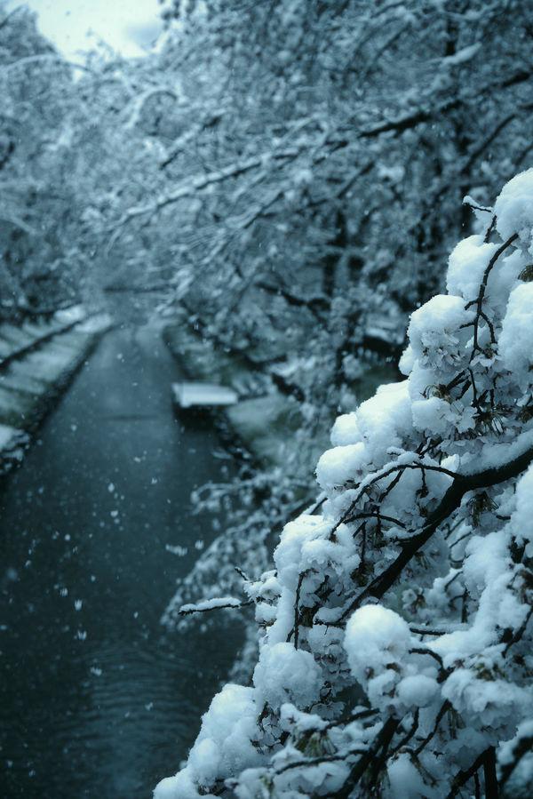 春を押しつぶす重々しい雪の作例写真
