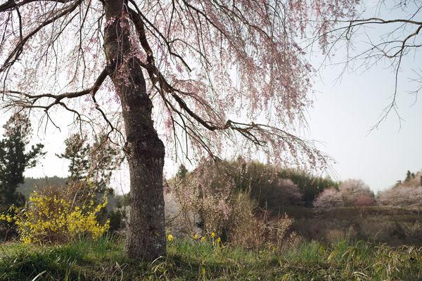 朝日に浮かぶ枝垂れ桜の作例写真
