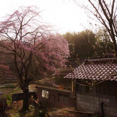 黄金色に輝く春の作例写真