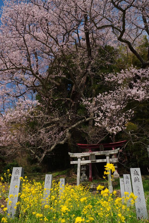 異界への入り口のような桜の大樹(子授け櫻)の作例写真