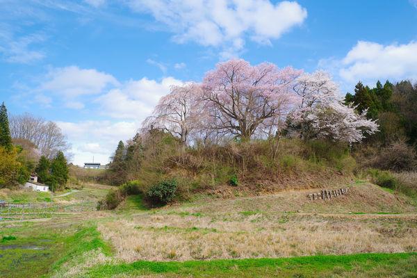 春を告げる丘の桜の作例写真