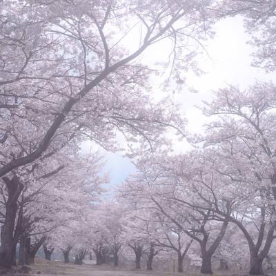 桜並木の白昼夢の作例写真
