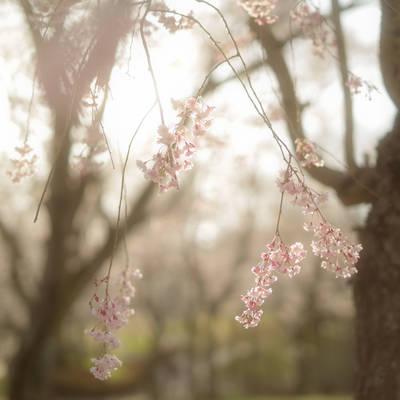光に漂うしだれ桜の作例写真