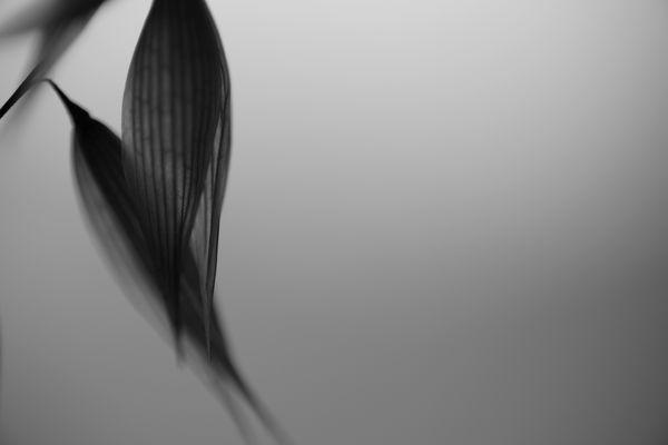 カラスムギのシルエットの作例写真