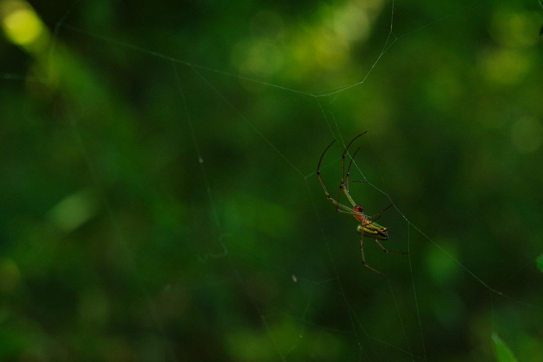 巣を張るジョロウグモの作例写真