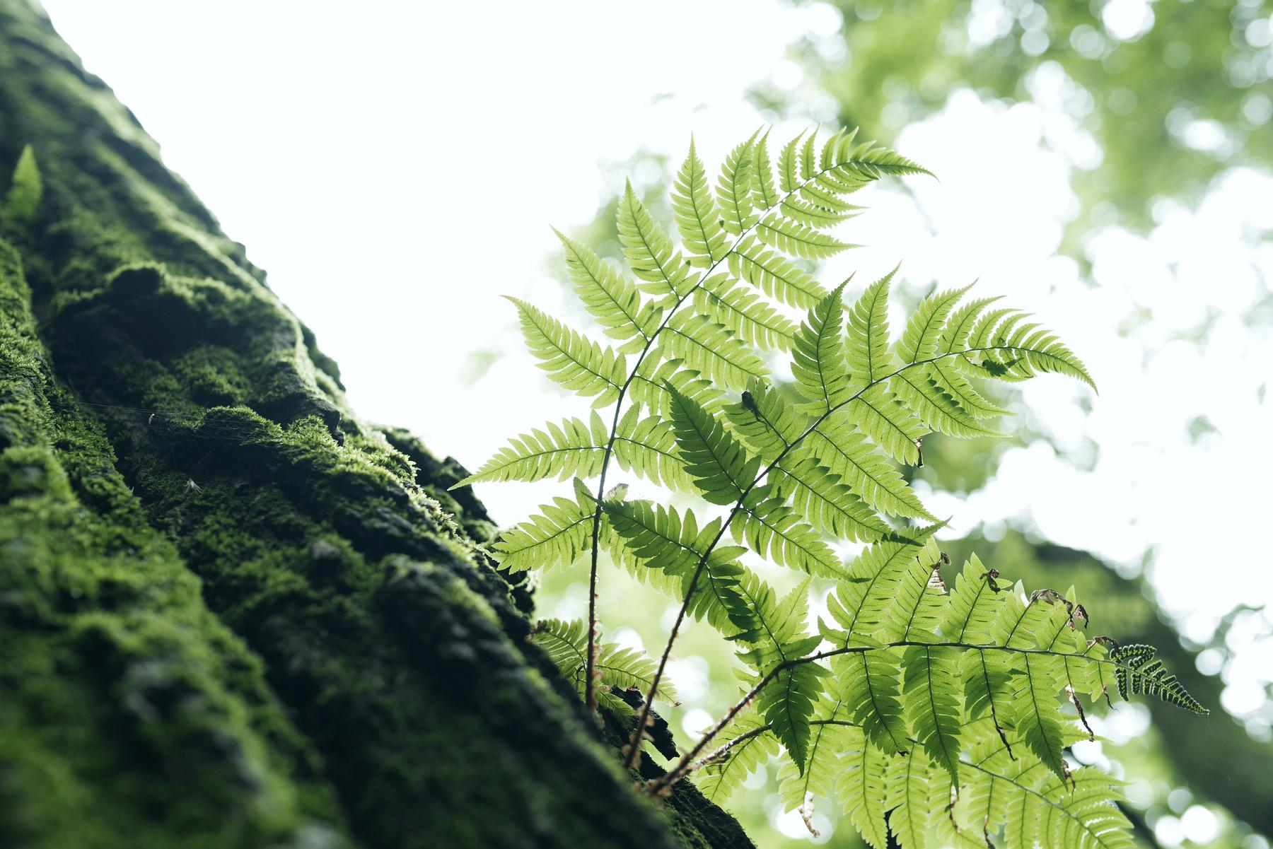 柔らかな光を受け止めるシダの葉の作例写真