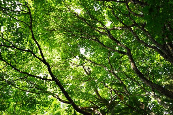 安達太良山の馬車道沿いのみずみずしい楓の作例写真