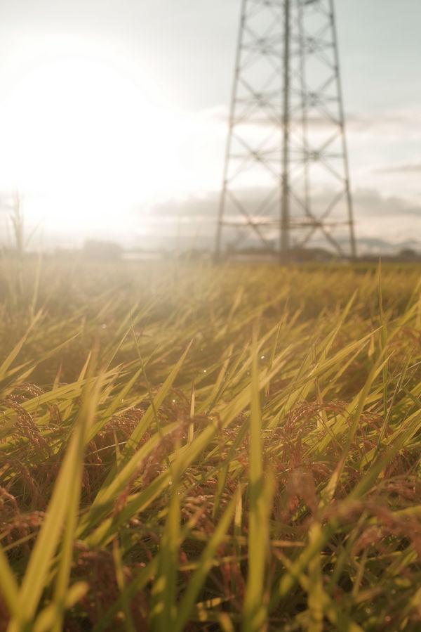夕日に照らされる雨上がりの田んぼの作例写真