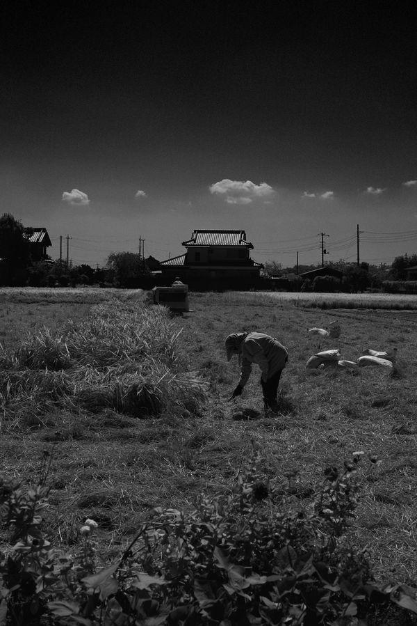 ダリとミレーにインスパイアされた稲刈り風景の作例写真