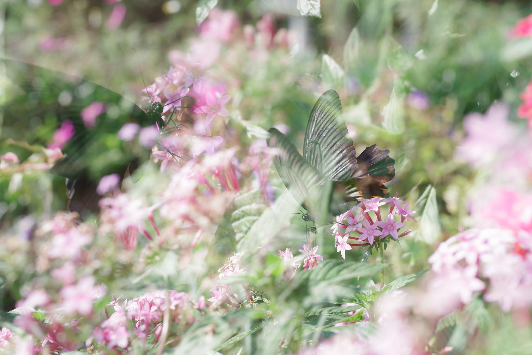 ファンタジックなアゲハチョウの作例写真