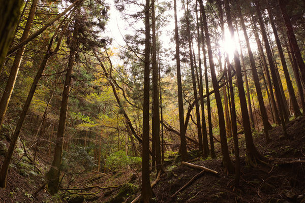 黄葉の原生林(埼玉県横瀬町)の作例写真