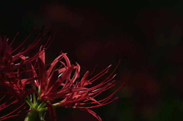 深紅の火花の作例写真