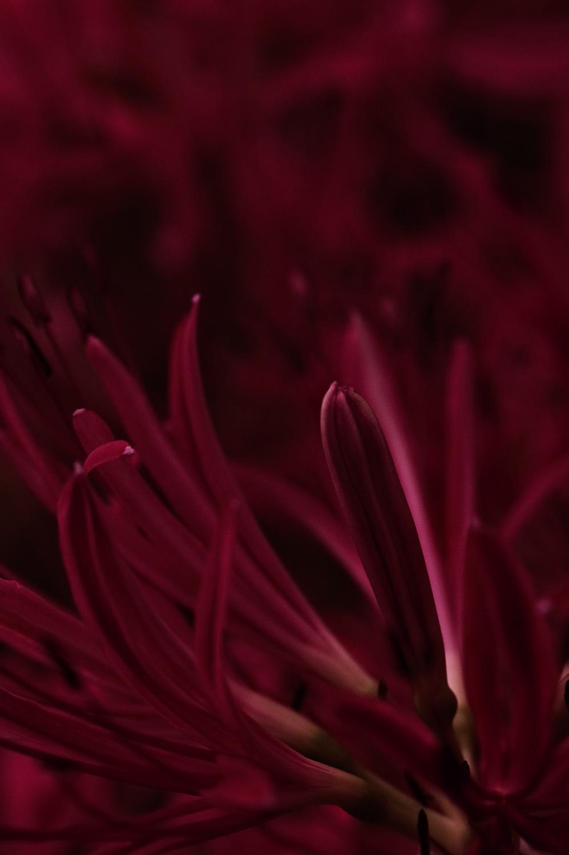 曼珠沙華の妖艶なつぼみの作例写真