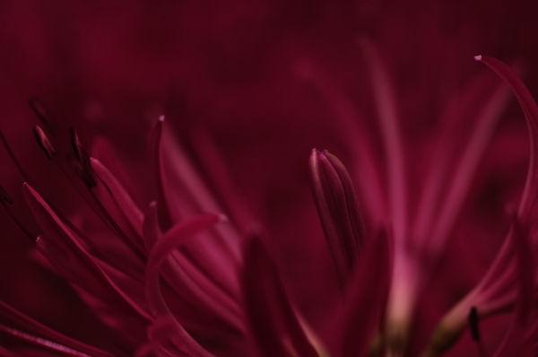 【光あそび】光が足りなきゃ足せばいい ─ 彼岸花とLUMECUBE