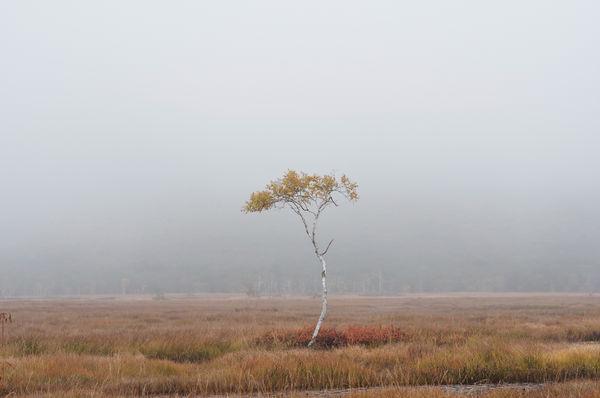 湿原にぽつんと立つ白樺の木の作例写真