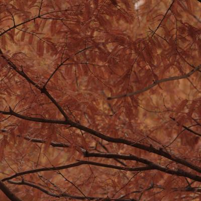 真っ赤に燃えるメタセコイアの作例写真