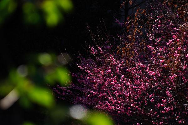 日陰の紅梅の作例写真