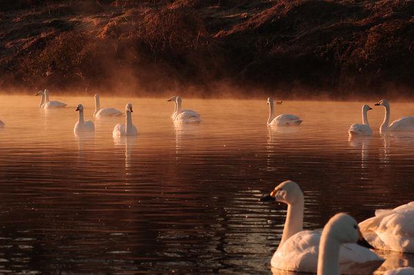 朝日に浮かぶ川霧の中のコハクチョウの作例写真