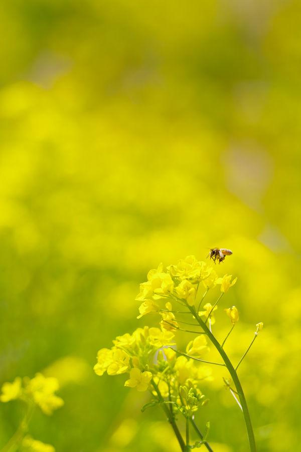 菜の花とミツバチの作例写真