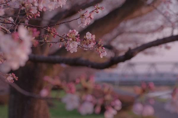 黄昏に染まる桜の作例写真