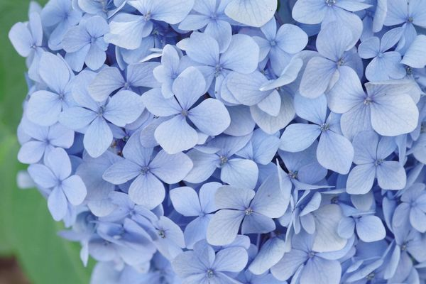 青色紫陽花の作例写真
