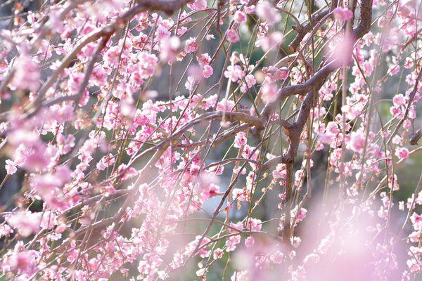 枝垂れ梅の作例写真