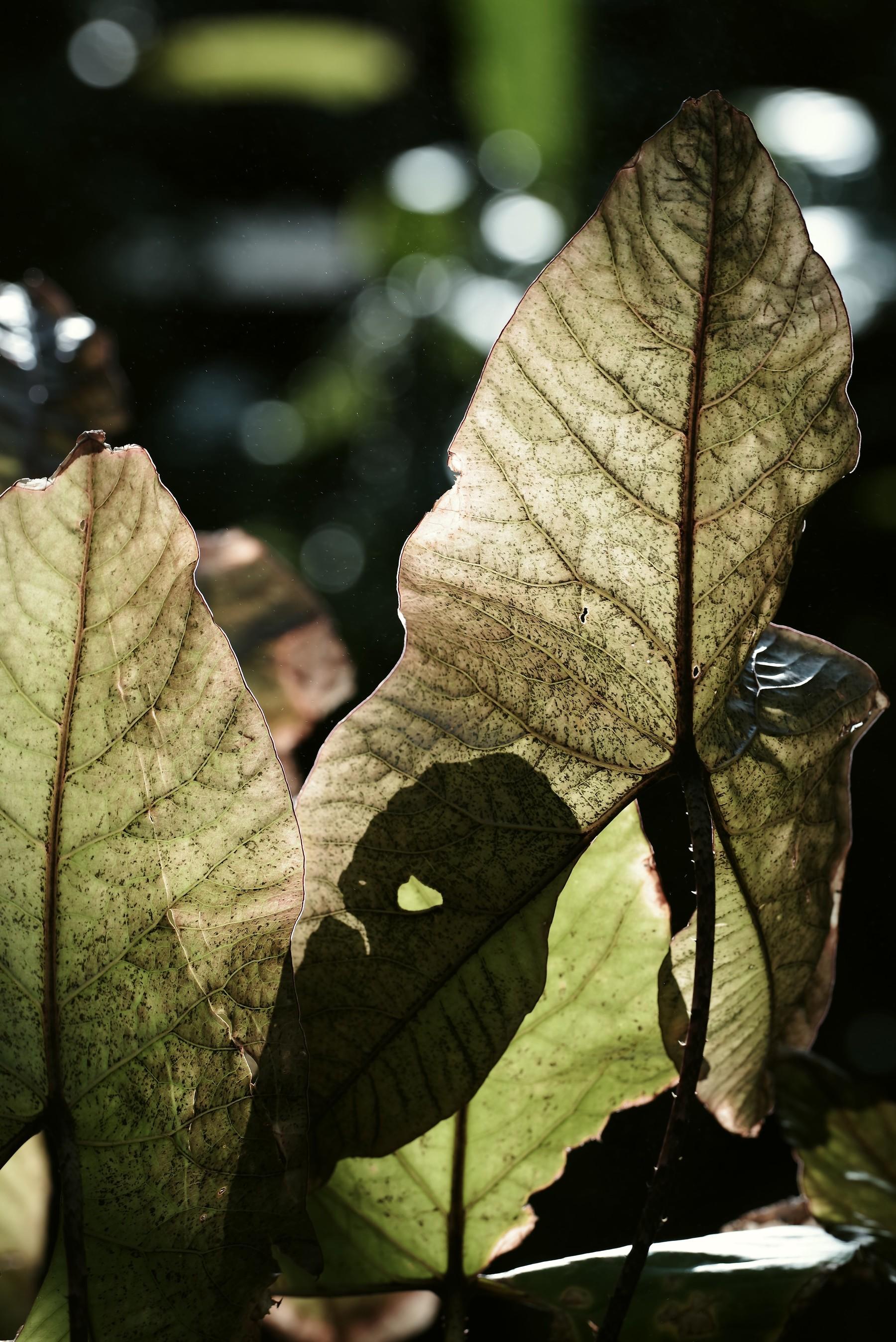 熱帯植物キルトスペルマの葉脈の作例写真