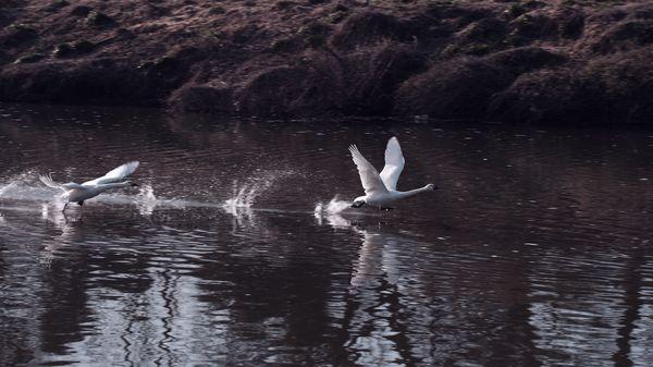水面を翔ける白鳥の作例写真