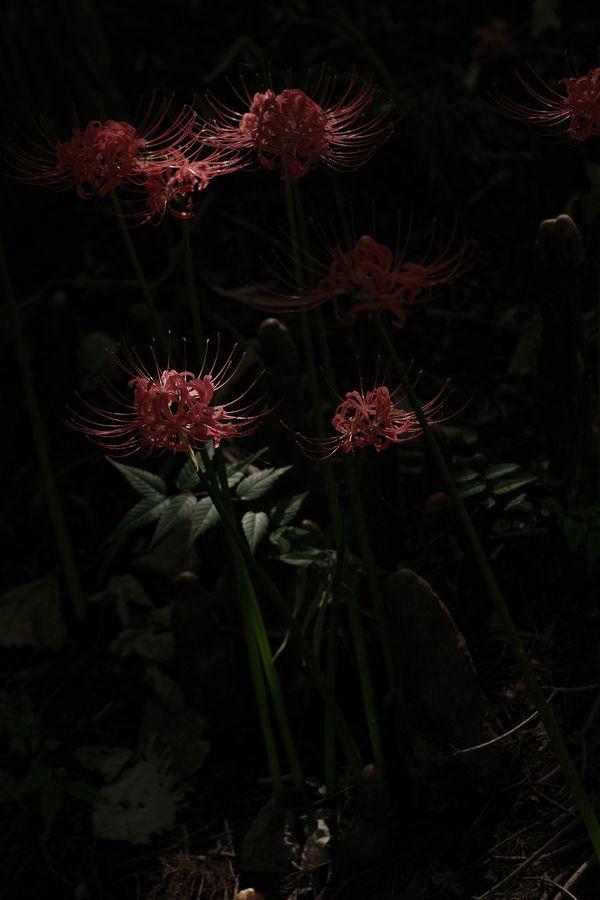 日陰に咲く曼珠沙華の作例写真