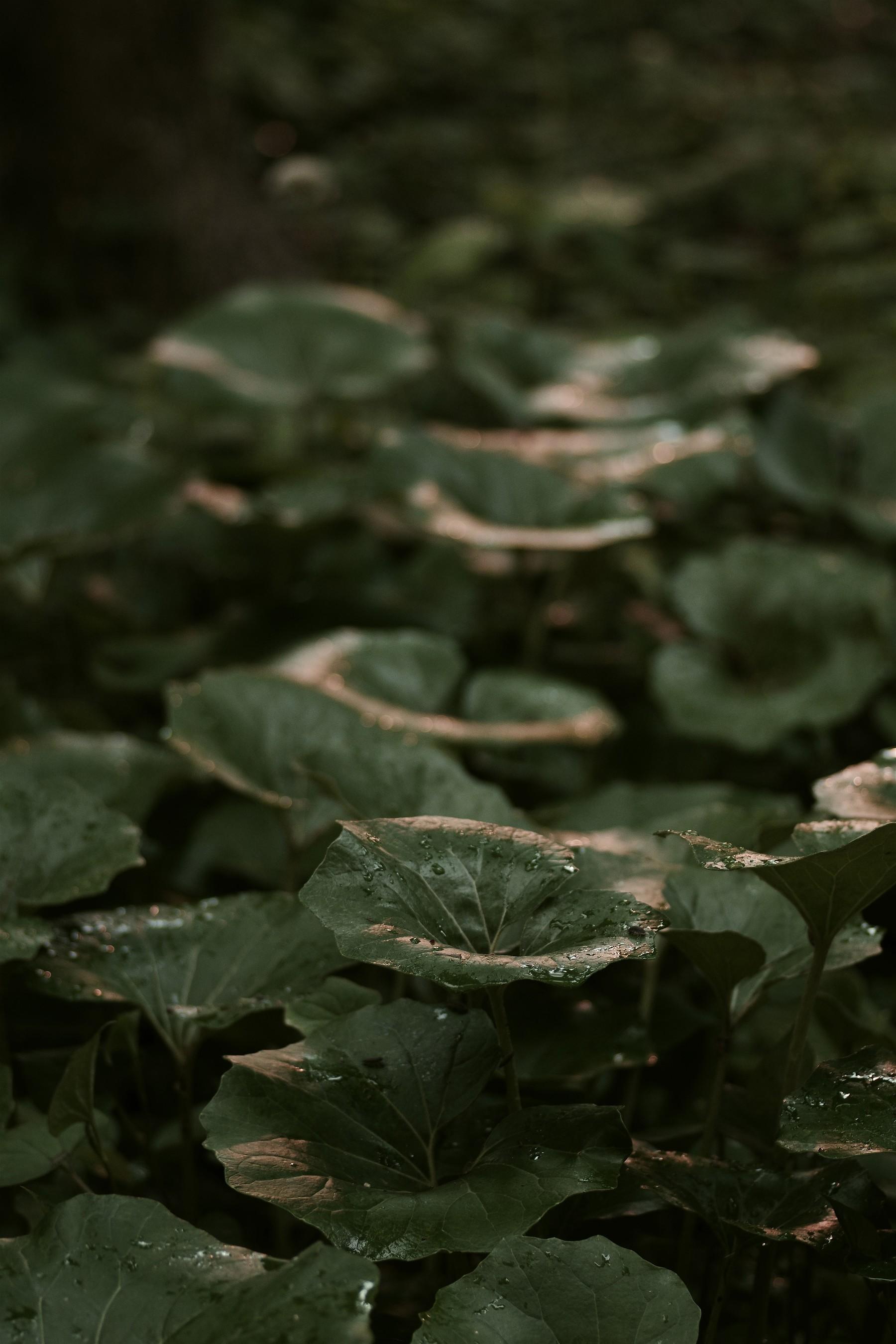 雨粒が残るシラユキゲシの作例写真