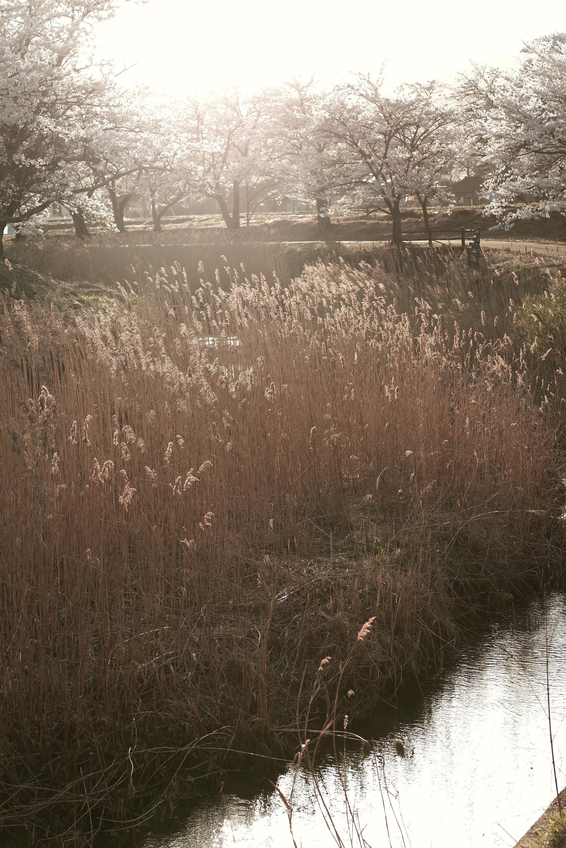 笹原川の千本桜と河川敷のオギの作例写真