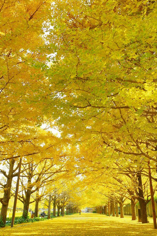 昭和記念公園の黄葉まつりの作例写真