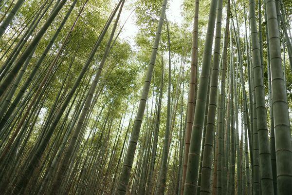 竹林を見上げての作例写真