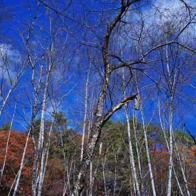青空と白樺の木の作例写真