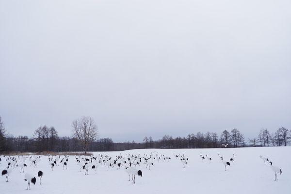 阿寒国際ツルセンターに集まる鶴の群れの作例写真