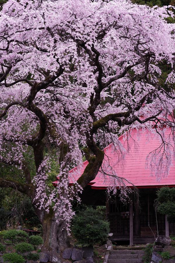 水月観音堂の枝垂れ桜の作例写真