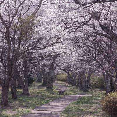 笹原川千本桜の作例写真