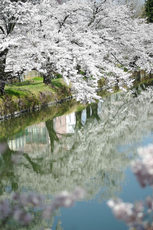 桜が反射する水面の作例写真