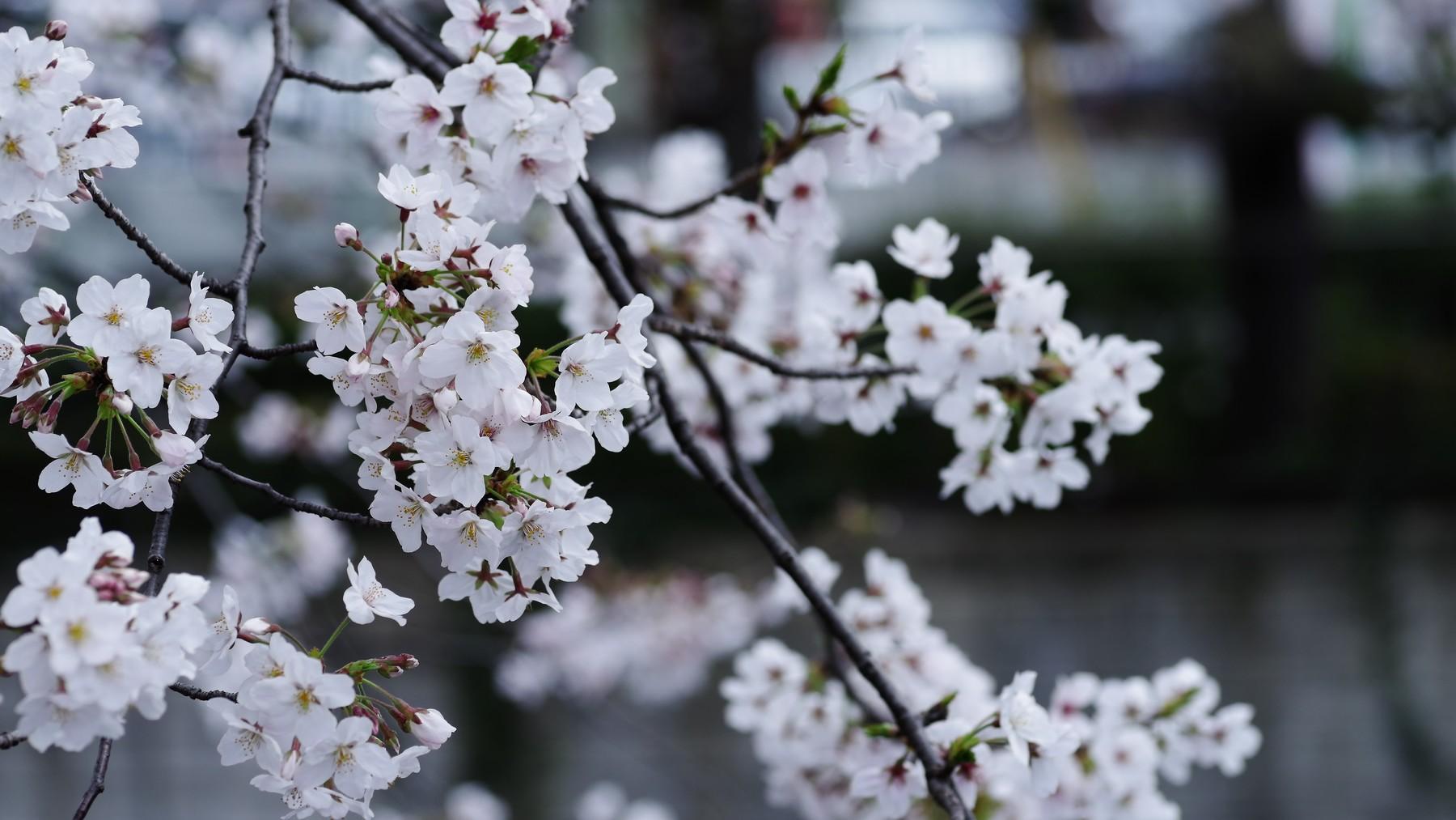 桜の開花はじまるの作例写真