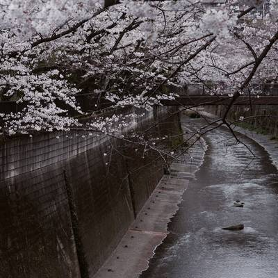 石神井川を覆う桜の作例写真