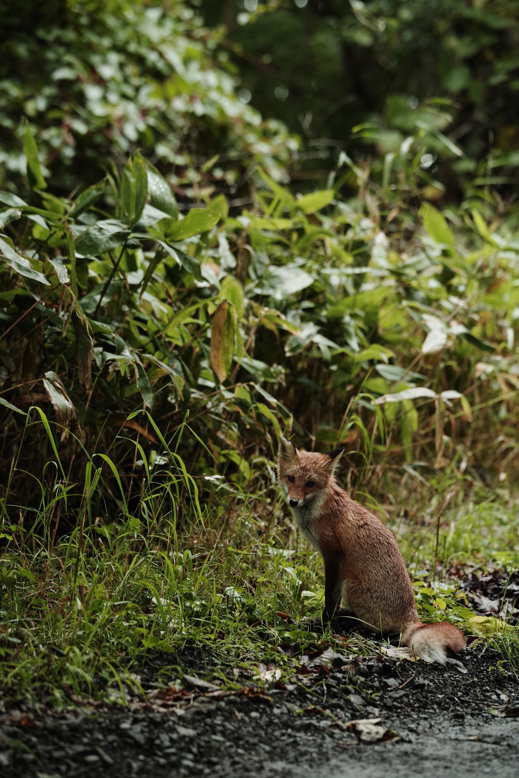 狐の作例写真