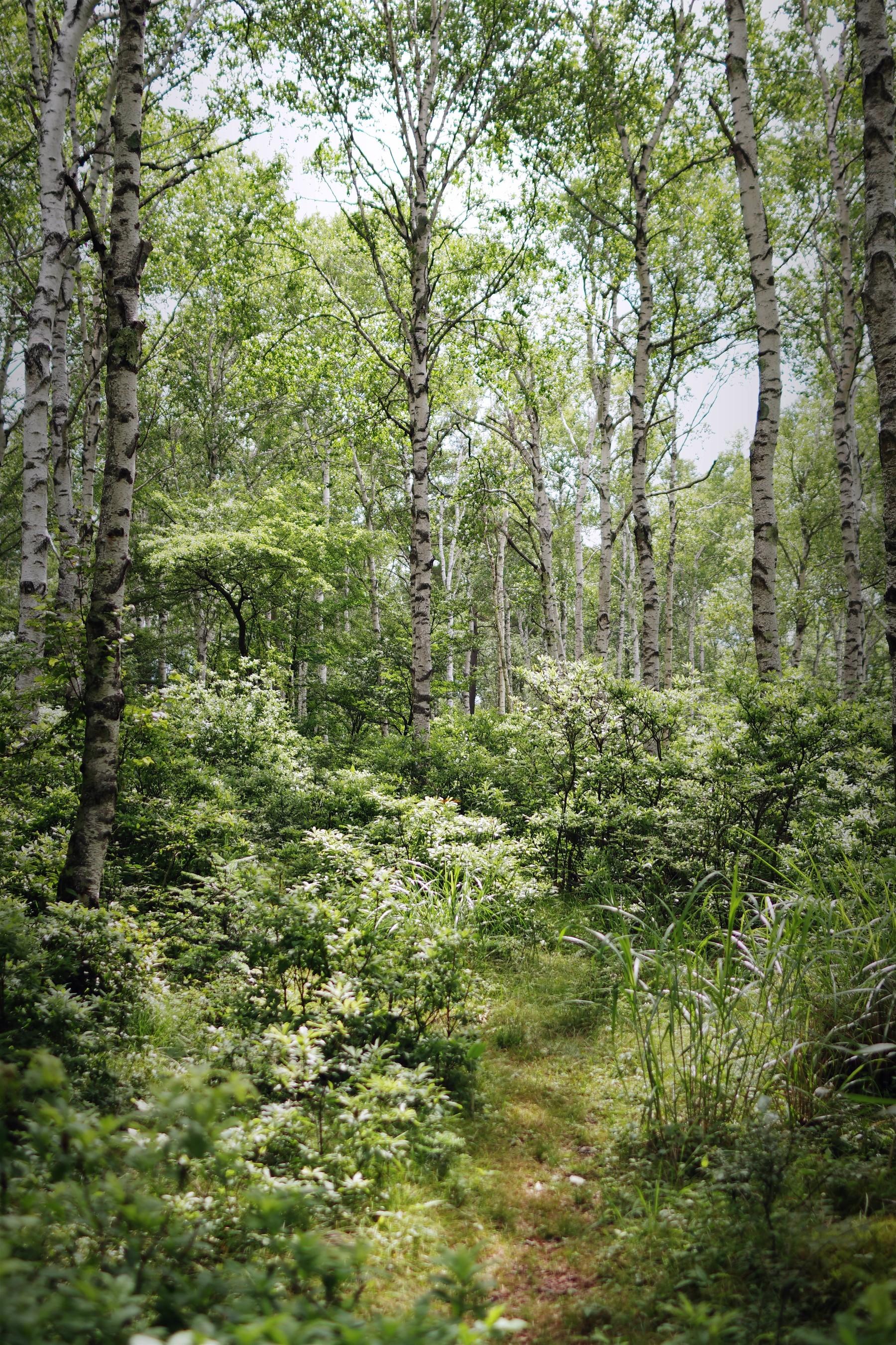 白樺の小径の作例写真